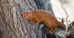 Slender Mongoose (michael heyns) Tags: carnivorans albertenmarietjiefroneman mammal kgalagadi 2019 slendermongoose mongooses carnivora galerellasanguinea herpestidae