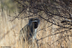 I see you too! (leendert3) Tags: leonmolenaar southafrica krugernationalpark naturereserve nature naturalhabitat wildlife wildanimal wilderness mammal vervetmonkey naturethroughthelens coth5 ngc