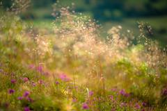 purple, haze (tonguedevil) Tags: landscape outdoor outside countryside summer nature field hillside grass haze heather purple breeze colour light shadows sunlight morning fuji