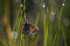 Morning has broken... (Tim Melling) Tags: coenonymphatullia polydama large heath butterfly north yorkshire yorks moors timmelling