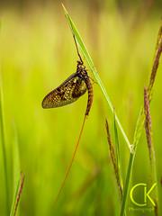 """Eine Eintagsfliege.  """"Eingefangen"""" an der Versetalsperre. (ChristophK82) Tags: eintagsfliege mayfly fly insekten insects colorful color nature natur lumix lumixg9"""