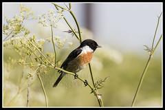 IMG_0009 Stonechat (Scotchjohnnie) Tags: stonechat saxicolatorquata ornithology bird birdphotography birdwatching ukbirds canon canoneos canon7dmkii canonef100400f4556lisiiusm scotchjohnnie wildandfree nature naturephotography