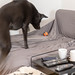 Black Labrador dog jumps on the couch to play with a ball