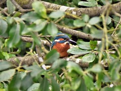 Kingfisher (doranstacey) Tags: nature wildlife birds kingfisher ulley countrypark reservoir ponds lakes rivers streams beautiful colourful nikon d5300 tamron 150600mm