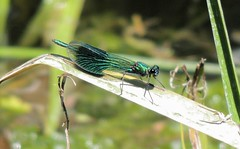 Jewel in the Sun (Kevin Pendragon) Tags: demoiselle banded green emerald reed water river insect nature naturephotography outdoors outside sun sunshine heat hot weather colours light
