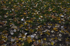 Letting Go. (Ranga 1) Tags: metaphor still wet rain renewal australia melbourne park narrative red green nature winter autumnleaves nightphotography davidyoung longexposure carltongardens fall night lowlightphotography leaves lowlight autumn fallenleaves explore