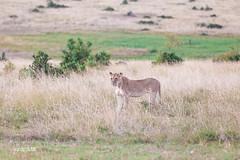 Maasai Mara (Luis Granada) Tags: kenya maasai mara maasaimara wild wildlife nature savanna cats cat africa safari animal
