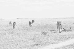 Cheetah Coalition, Maasai Mara (Luis Granada) Tags: kenya cheetah coalition africa safari animal park nature wild wildlife cats cat mara maasai maasaimara