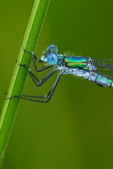 DSC06771 - Scarce Emerald (steve R J) Tags: scarce emerald canvey island ditch essex odonata british damselfly