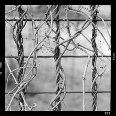 Helical vines (TPStearns) Tags: hasselblad 2000fcw 120mmmakroplanar blackandwhite monochome bw square 120 fp4 film vines