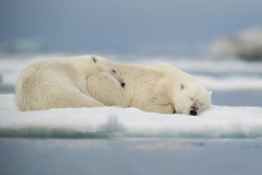 Tranquility (msmedsru) Tags: polar bear family cub svalbard spitsbergen ice wildlife norway