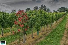 Rosier/vigne (https://pays-basque-et-bearn.pagexl.com/) Tags: aquitaine béarn colinebuch france jurançon sudouest vigne domaine montagne nature nuages paysage pyrénées pyrénéesatlantiques