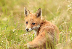 2626.-WILD. FOX-CUB. (lakelover2012 (TONY COOKNEY).(From Windermere)) Tags: fox wild nature field grass sun sky colour summer winter canon camera photograph wildlife animal outdoor day night