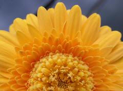 Gold petal pattern (Monceau) Tags: gold petal pattern golden flower macro complex