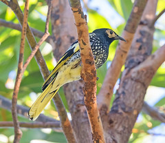 The critically endangered Regent Honeyeater pausing briefly in it's search for food. (christinaport) Tags: regenthoneyeater honeyeater criticallyendangered endangered nsw australia bird birds wild free