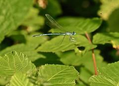Dragon-fly in flight (Atzel2011) Tags: insects closeup nature summer makro olympus em1markii dragonfly libelle insekten