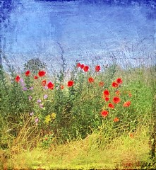 Poppy Paradise HSS (cheltenhamgirl (Yvonne)) Tags: roadside norfolk poppies slidersunday