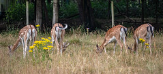 Tails X4 (A Journey With A New Camera) Tags: deer newforest uk animal dorset