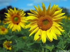 Wish you a sunny day .... (Mike Reichardt) Tags: flower flowerpower farben farbenfroh farbig sonnenblume suunflower closeup colors colorful close nahaufnahme natur nature nebel plant pflanzen pfalz palatinate pfälzerweinstrasse