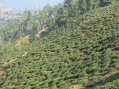 Tea Bushes on the precipitous slopes - Darjeeling Tea Plantations - Darjeeling West Bengal India (WanderingPJB) Tags: india flickruploaded accumulation westbengal darjeeling himalayas foothills teaplantation bush tea