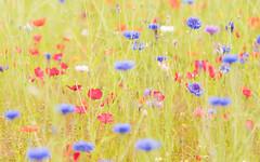 Flowers (Dibbly Dobbler) Tags: sonya7rii 90mm flowers bokeh
