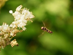 Hoverfly (Atzel2011) Tags: insects makro nature olympus hoverfly summer