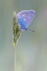 Bläuling (oliver r.) Tags: fuji fujixt3 xt3 canon canon100mm canon100mmlisusm macro makro nature natur insect insekt wildlife outdoor bläuling schmetterling butterfly falter abendlicht