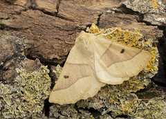 Scalloped Oak (LindaShaws Images) Tags: moth uk mothbox garden staffordshire outdoors wood tree bark crocalliselinguaria buff light scalloped wings widespread common