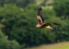 Red Kite (ian._harris) Tags: nikon d750 tamron g2 150600 wilde nature wildlife animals naturephotography natur life flickr outside naturaleza wales llanddeusant redkite