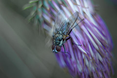 Musca (Pascal Echevest | Nature) Tags: nikon5300 nature natura natur naturaleza natureza composition bokeh wild wildlife sauvage ambiance atmosphere mouche fly muscadomestica insecte insect