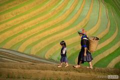 Walking Through the Rice Terraces (David_Lazar) Tags: mucangchai vietnam rice terraces tribe