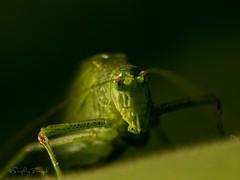 Grasshopper (zserg2000) Tags: grasshopper macro macroworld macrophoto leica dg macroelmarit 45 mm f28 panasonicgx9