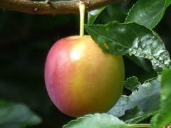 Plum (river crane sanctuary) Tags: plum tree rivercranesanctuary nature