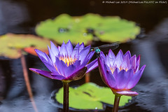 Water Lilies and Dragonfly (20190713-DSC03615) (Michael.Lee.Pics.NYC) Tags: newyork newyorkbotanicalgarden nybg bluedasher male waterlily lotus bud pool water bokeh dragonfly insect wings sony a6500 fe100400mmgm 14xtc