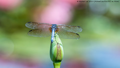 Male Blue Dasher (20190713-DSC03565) (Michael.Lee.Pics.NYC) Tags: newyork newyorkbotanicalgarden nybg bluedasher male waterlily lotus bud pool water bokeh dragonfly insect wings sony a6500 fe100400mmgm 14xtc
