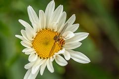 Flying In (John Fenner) Tags: olympus em markii mzuiko 60mm f28 macro prime mirrorless micro43rds flower petals pollen hoverfly insect flying wings closeup