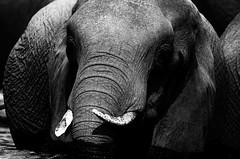 Sunday magic... (lyn.f) Tags: elephant loxodontaafricana blackandwhite choberiver botswana africa safari nikon water waterislife nature naturelover