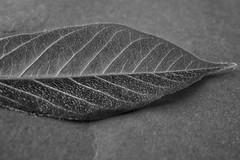 Patterns (juliaturnau) Tags: bud textures detail smallisbeautiful bnw pattern wisteria leaf patternsinnature macromondays