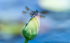 Blue Dasher and Lotus (20190713-DSC03966) (Michael.Lee.Pics.NYC) Tags: newyork newyorkbotanicalgarden nybg bluedasher male waterlily lotus bud pool water bokeh dragonfly insect wings sony a6500 fe100400mmgm 14xtc