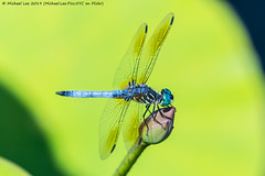 Male Blue Dasher (20190713-DSC03920) (Michael.Lee.Pics.NYC) Tags: newyork newyorkbotanicalgarden nybg bluedasher male waterlily lotus bud pool water bokeh dragonfly insect wings sony a6500 fe100400mmgm 14xtc