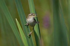 Aquatic warbler (JS_71) Tags: nature wildlife nikon photography outdoor 500mm bird new summer see natur pose moment outside animal flickr colour poland sunshine beak feather nikkor d500 wildbirds planet global national wing eye watcher