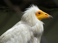 Egyptian vulture (Neophron percnopterus) (Sasho Popov) Tags: animal bird vulture nature