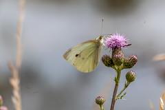 Papillon (clamar18) Tags: papillon butterffly pieride canal vierzon france