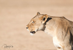 Desperate..... (Jambo53 ()) Tags: kgalagadi lioness crobertkok