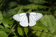 Black-veined White ♂ Aporia crataegi (Roger Wasley) Tags: blackveinedwhite aporiacrataegi butterfly butterflies insect chamonix french alps france alpine male