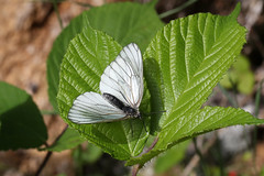 Black-veined White ♀ Aporia crataegi (Roger Wasley) Tags: blackveinedwhite aporiacrataegi butterfly butterflies insect chamonix french alps france alpine female macro
