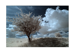 On the South Downs Way (david.hogan7) Tags: landscape fine art colour infrared canon 750d converted ir 720 moody atmospheric summer clouds tree stunted south downs national park way gander cheriton england
