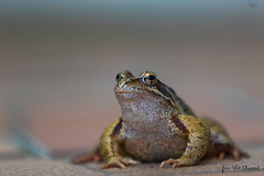 Grenouille rousse - Brown frog