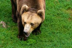 Braun Bär (istrahinic) Tags: bär bear nature flickers flickersession