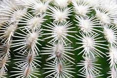 Echinocereus caespitosus (wolfgang.kynast) Tags: kakteen macromondayscandidates focusstack dslrdashboard heliconfocus
